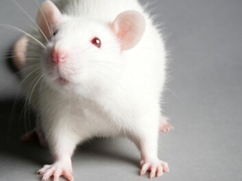 Our debts to lab mice might include some new pills to curb anxiety. (Photo: Colourbox)