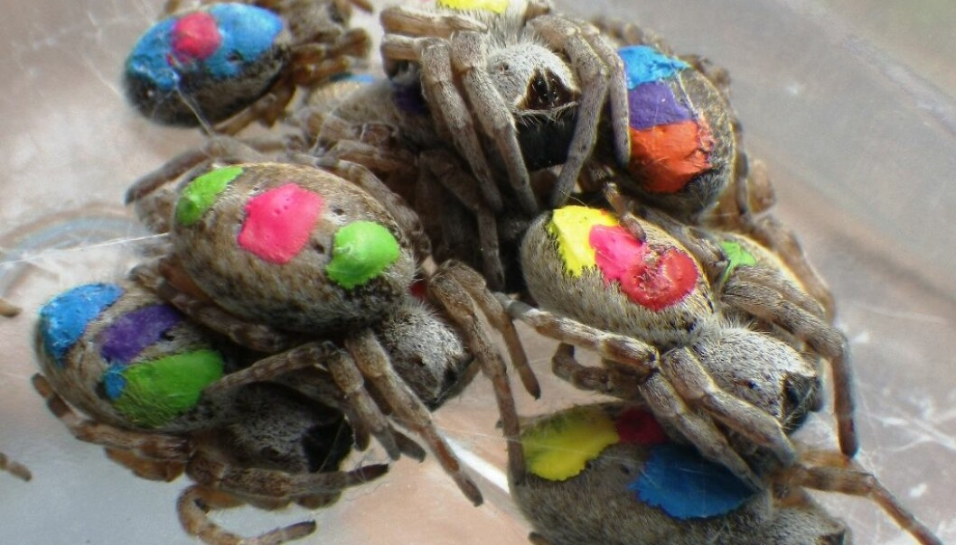 Spiders were dabbed with acrylic paint in colour codes. (Photo: Lena Grindsted)