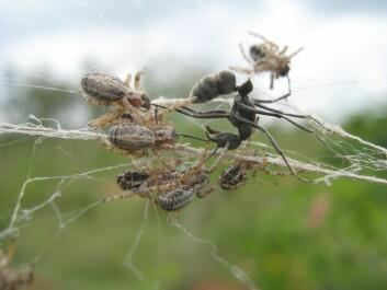 The spiders attack an interloper. (Photo: Virginia Settepani)