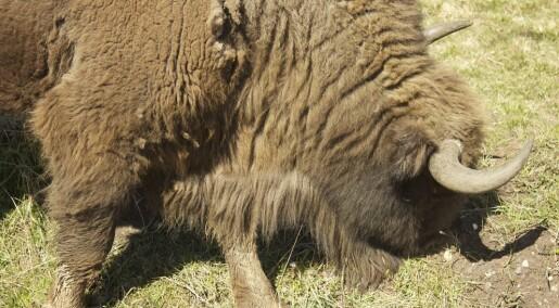 Bison may boost Danish vegetation