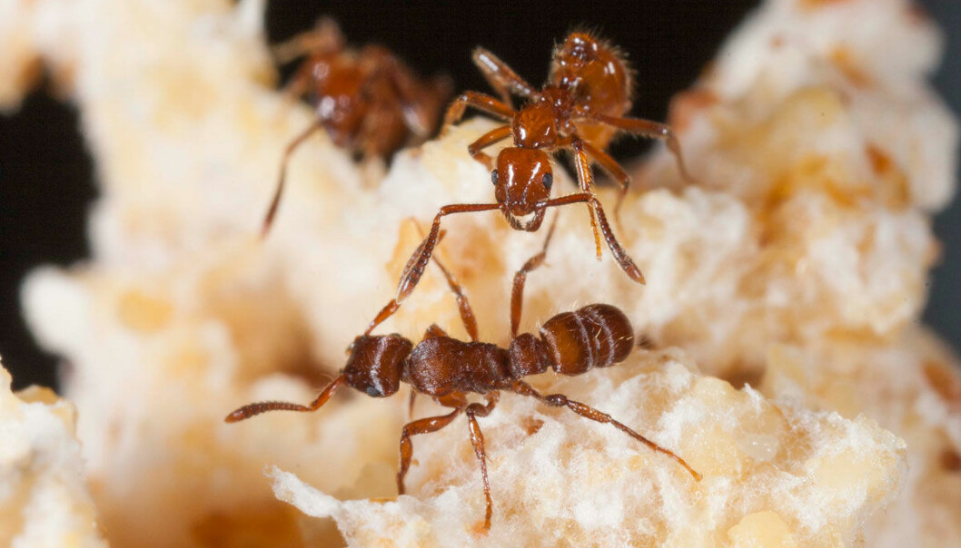 If you cannot defend yourself, you can always pay others to do it for you. Fungus-growing ants in Central and South America have figured out this trick, as they invite poisonous parasitic guest ants into their colony and pay them with food from their fungi garden. This, effectively, turns the parasitic ants into a personal defence army for the fungus-growers. (Photo: Anders Illum)