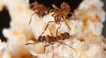 Ants in gladiatorial combat reveal unique collaboration