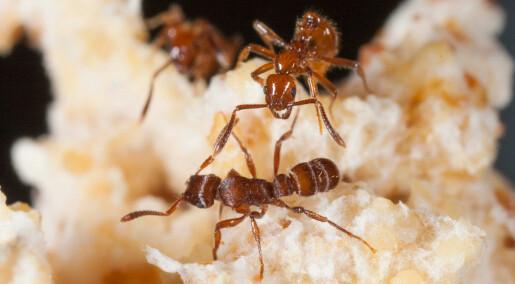 Ants in gladiatorial combat reveal unique collaboration