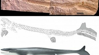 Ancient marine lizard had telltale fish tail