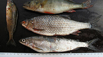The warming waters lure perch to extend its range northwards