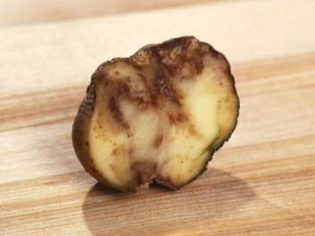 The Phytophthora infestans, the dreaded potato blight. (Photo: Wikimedia Commons)