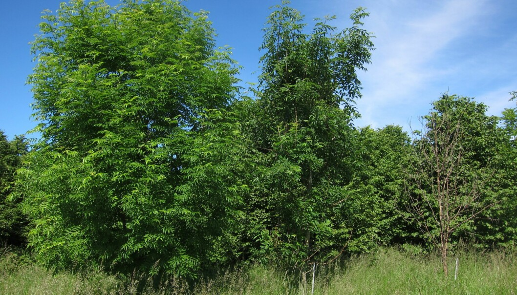 The European common ash (Fraxinus excelsior) is currently threatened by a pathogenic fungus, Hymenoscyphus pseudoalbidus, which causes the trees to wither away and die. This photo, taken in Tunenæs, Denmark, shows (from left to right) a healthy, an infected and a dead ash tree. (Photo: Lea Vig McKinney)