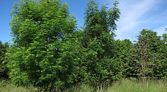 Surviving ash trees help to address evolutionary riddle