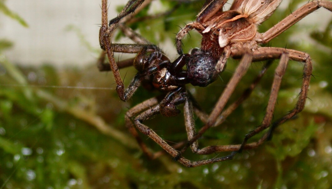 The nursery web spider is known for its gift-giving in connection to mating. Pictured is a male (on the left) and a female, both clinging onto a gift consisting of an insect prey wrapped in silk. (Photo: Allan Lau)
