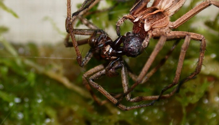 Spiders exchange gifts for sex