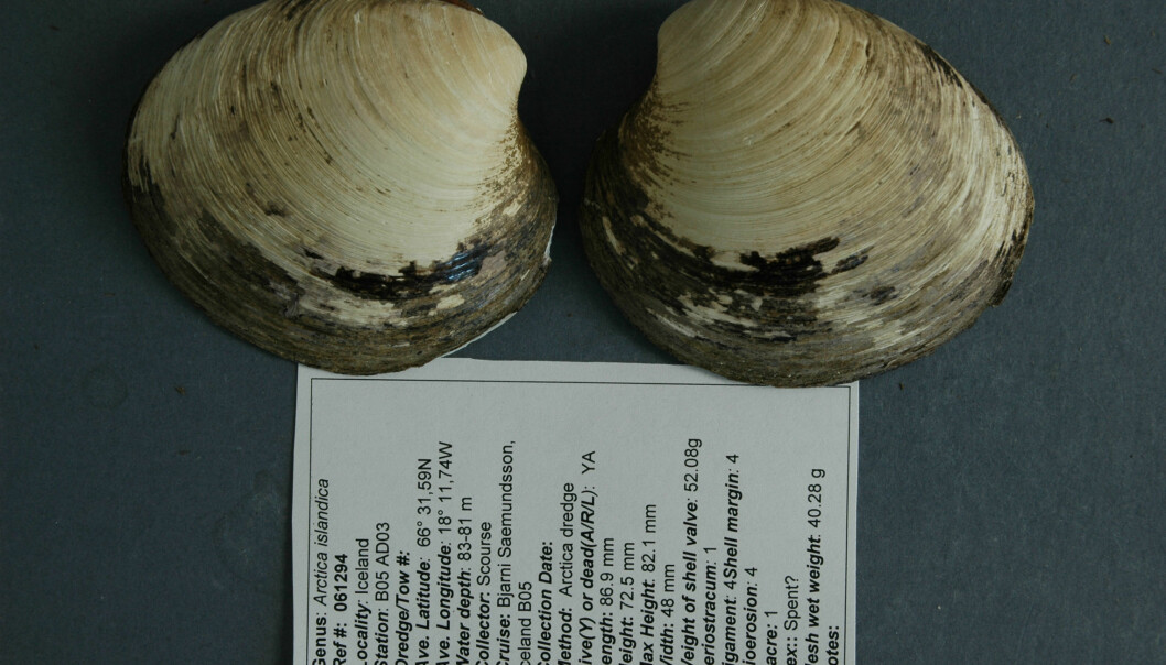 This is the only picture of the ocean quahog Ming – the the longest-lived non-colonial animal so far reported whose age at death can be accurately determined. After the photo was captured in 2007, the shells were separated to allow accurate determination of the animal's age. (Photo: Bangor University)