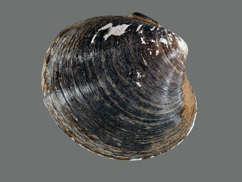 For each year of the ocean quahog's life, a new growth ring emerges on its shell. In years with lots of food, the growth ring is usually wide, whereas a narrow ring indicates a year with less food. (Photo: Bert Aggenbach, NIOZ)