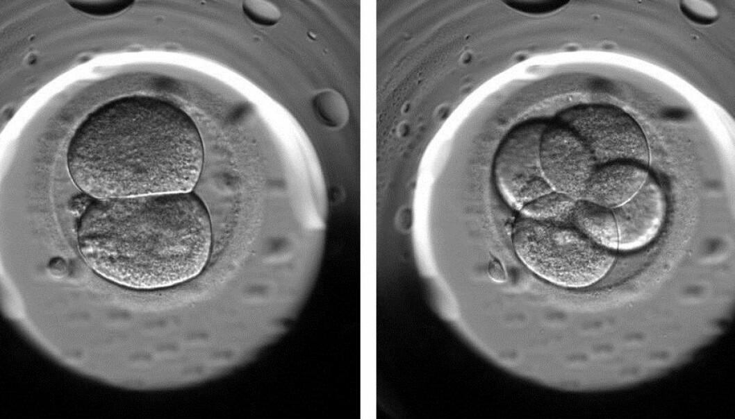 Using time-lapse photos of fertilised eggs in the days before they are inserted into a woman's uterus, doctors can now spot abnormalities in the eggs. Ideally, an egg would divide from one into two cells and then from two into four, as shown in this photo. If, however, an egg divides directly from one into four cells, the doctors know that there is a very low probability that the egg will result in a pregnancy. (Photo: Kirstine Kirkegaard)