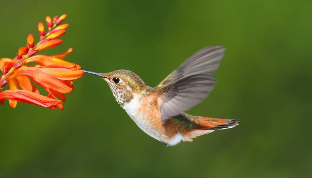 """Hummingbirds have adapted their red blood cells so that they can fly high up in the Andes where oxygen is scarce. (Photo: <a href="""" http://www.shutterstock.com/"""" target=""""_blank"""">Shutterstock</a>)"""