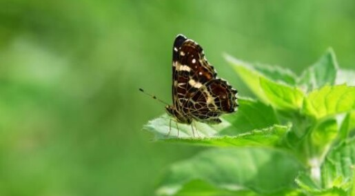 Saving  butterfly meadows