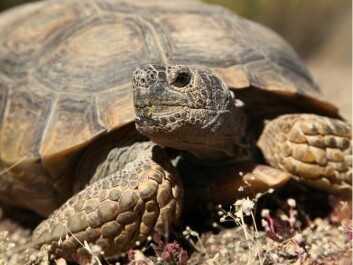"The desert tortoise (Gopherus agassizii) is one example of animals whose mortality declines with age. (Photo: <a href="" http://www.shutterstock.com/"" target=""_blank"">Shutterstock</a>)"