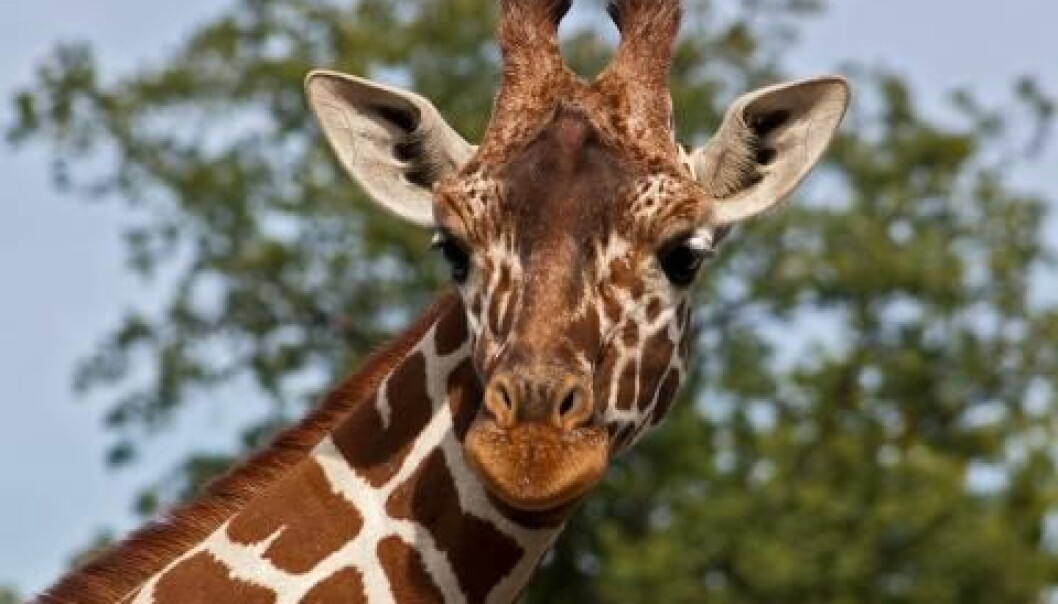 The killing of a 18 month old giraffe named Marius in the Copenhagen Zoo has received a lot of media attention.