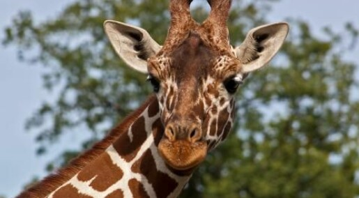 Marius the giraffe: He died so that others could live
