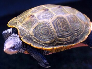 The turtle's spine is a bit like the human brain in certain respects, but it is a much easier organ to work with. This makes it a good model for the nervous system and for nerve cells in general. (Photo: Mary Hollinger, NOAA)