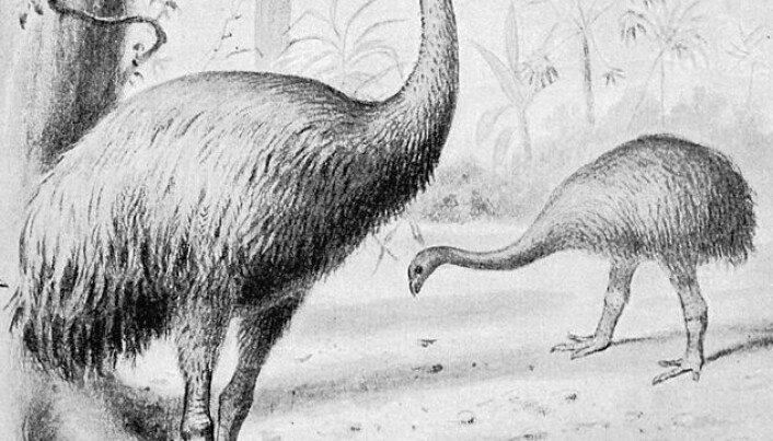 Humans alone killed off the giant moa bird