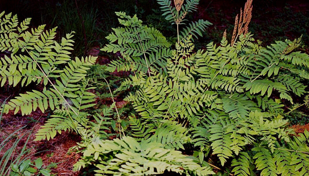 """The royal fern is a good example of a """"living fossil"""". (Photo: Christian Fischer, Wikimedia Commons)"""
