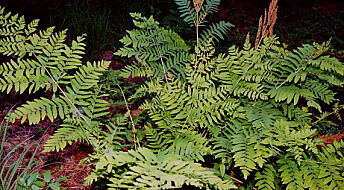 Swedish ferns stuck to their Jurassic game plan