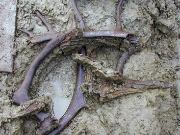 In addition to the ancient insects and plants, the excavation also found antlers and bones from 12 reindeer. (Photo: The National Museum of Denmark)