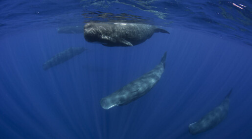 Sperm whale language under scrutiny