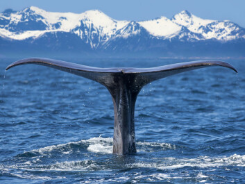 "Sperm whales possess the most powerful natural sonar system, which they use to navigate and search for squid in the darkness of the deep ocean. They also have the largest brain in the animal kingdom, weighting no less than eight kilos. (Photo: <a href="" http://www.shutterstock.com/"" target=""_blank"">Shutterstock</a>)"