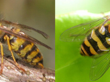 A common wasp on the left and the hoverbee which mimics it. (Photo: Holger Gröschl (wasp) and Entomart (hoverfly). Wikimedia Commons)