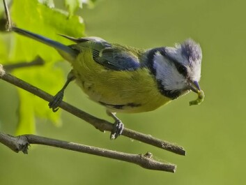 A young blue tit that has snatched a tasty larva. (Photo: Claus Fisser, made available by Wikimedia Commons)