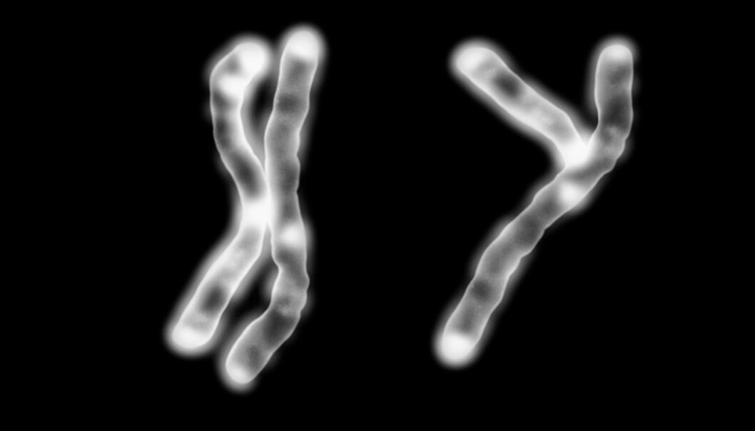 All normal human cells contain 23 pairs of chromosomes, 46 in all. Men and women share 22 of these pairs. But the last chromosome pair among males consists of a chromosome X and a chromosome Y, whereas females have two X chromosomes. The Y chromosome is not really as Y-shaped as in this illustration. (Photo: Science Photo Library/NTB Scanpix)
