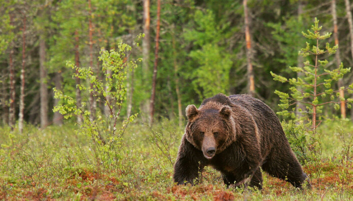 Limited gene flow among brown bears in Northern Europe