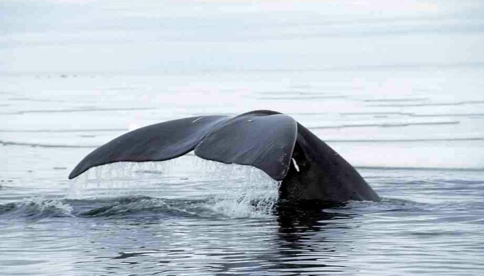 The importance of sound for bowhead whales