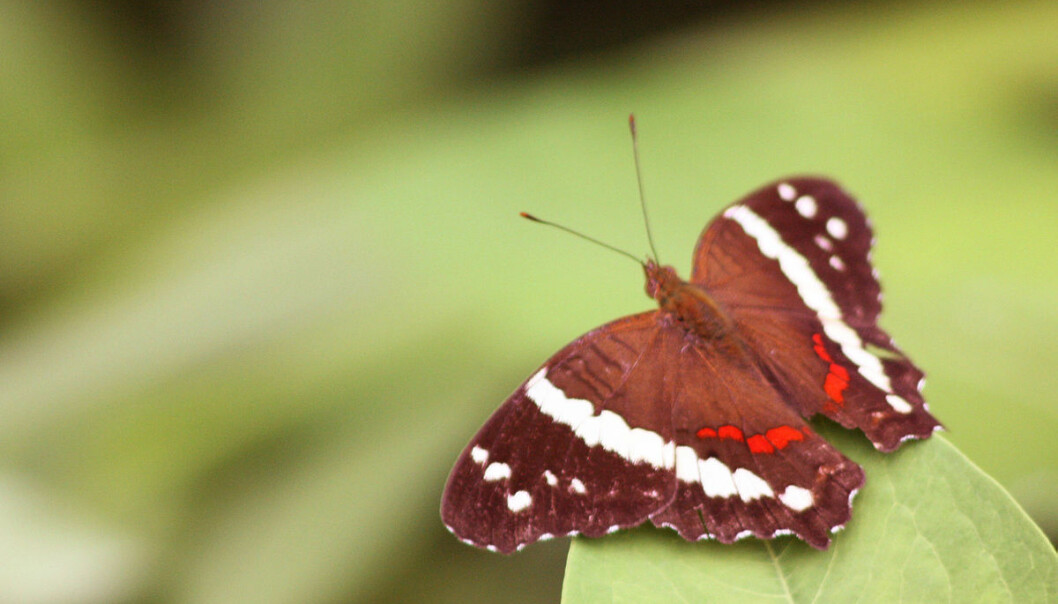 "This red butterfly doesn't mind a warm climate but darker species are struggling with the heat, new study reveals. Dark insects are now migrating north and that spells trouble for local ecosystems. (Photo: <a href=""http://commons.wikimedia.org/wiki/User:Charlesjsharp"" target=""_blank"">Charlesjsharp / Wikimedia Commons</a>)"