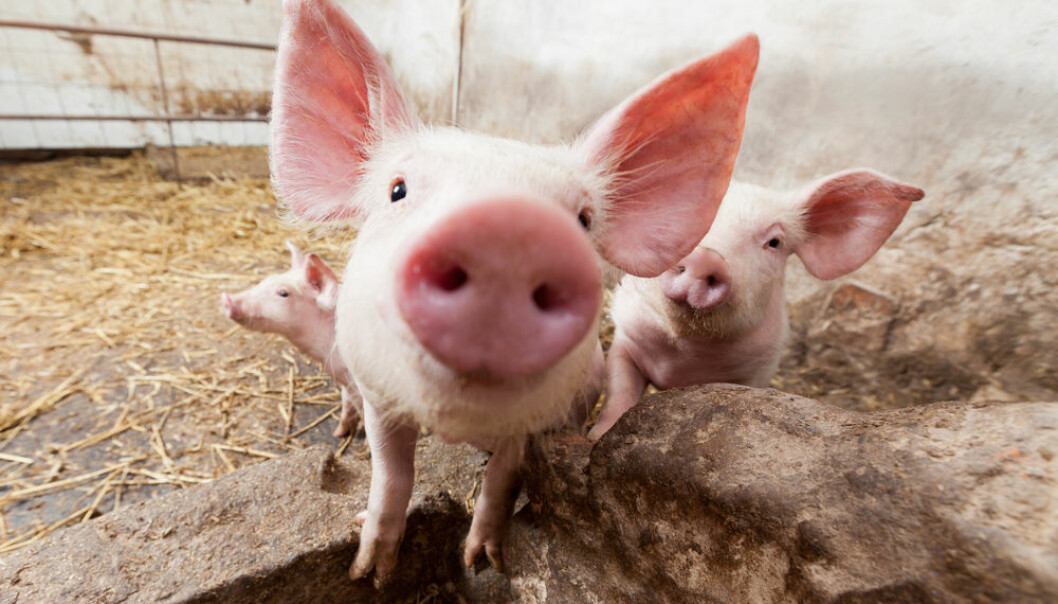 """Fat and cholesterol can change our behaviour -- possibly to the better, reveals a Danish study. However, it's still uncertain exactly how much fat is optimal for people. (Photo: <a href="""" http://www.shutterstock.com/da/pic-134362790/stock-photo-young-pigs-on-the-farm.html?src=6fPnvngmHAOYSHOK6R8-vQ-1-2"""" target=""""_blank"""">Shutterstock</a>)"""