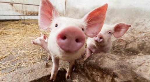 Fat makes pigs more social and less aggressive