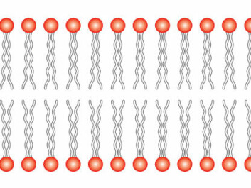 Cross section of a cell membrane. The cell membrane consists of a lipid bilayer; a double layer of lipids with their tails turned towards one another. The lipids differ and some belong to the inside of the cell, while others belong to the outside. Small proteins called flippases move the lipids from one side of the cell membrane to the other. (Illustration: Wikimedia Commons)