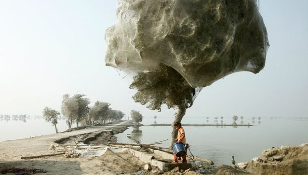 During a flood in Pakistan, millions of spiders sought refuge in trees, shrouding them in webs. (Photo: wenn.com/Scanpix)