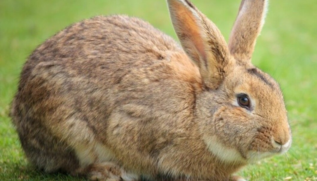 Researchers have examined the genes of both wild and tame rabbits. The difference does not lie in the genes they carry, but in how the genes are regulated. (Photo: Colourbox)