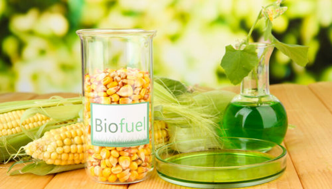 """Most biofuel is produced from maize. Scientists have recently discovered how to produce biofuel from maize faster and cheaper. (Photo: <a href=""""http://www.shutterstock.com/dl2_lim.mhtml?id=164005082&size=small_jpg&src=xWc3NTMhLwjmL_1xzniUng-1-4"""" target=""""_blank"""">Shutterstock</a>)"""