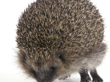 Hedgehogs' spines not only jab predators – they also function as shock absorbers if the hedgehog falls from a height. (Photo: Colourbox)