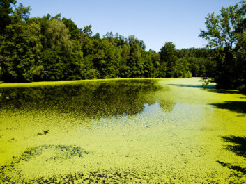 "The leakage of fertiliser from farms provide nutrition for algae, which uses all the oxygen and by this kills all other life forms in the water (Photo: <a href=""http://www.shutterstock.com/da/pic-214413763/stock-photo-green-algae-lake.html?src=o0G_u3hBjxdiJbOAOWeZLQ-1-5"" target=""_blank"">Shutterstock</a>)"
