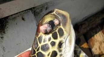 Herpes causes fatal tumours in sea turtles