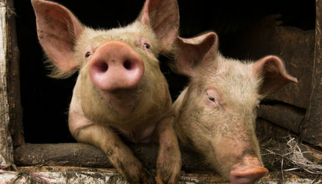 "Denmark produces many millions of pigs for slaughter every year. If scientists can succeed in preventing the formation of ammonia in the pig manure, considerable environmental problems can be solved. (Photo: <a href=""http://www.shutterstock.com/pic-156970469.html?awc=5876_1417036216_a80b95ac0bb568c0f8df64daf5bf1635"" target=""_blank"">Shutterstock</a>)"