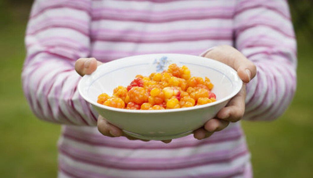 "A new study from Aarhus University concludes that ""New Nordic food is just food"". (Foto: <a href=""http://www.shutterstock.com/da/pic-116807308/stock-photo-a-child-holding-out-a-plate-full-of-ripe-cloudberries.html?src=JDE0H2MkVYb0oQCgDTQFEQ-1-149"" target=""_blank"">Shutterstock</a>)"