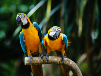 "A study in PLOS One, shows that, genetically speaking, a parrot's song is quite unique. The scientists behind the study believe this may explain why parrots are so good at imitating human speech. (Photo: <a href=""http://www.shutterstock.com/pic-236592211/stock-photo-two-beautiful-parrots.html?src=csl_recent_image-1&ws=1"" target=""_blank"">Shutterstock</a>)"