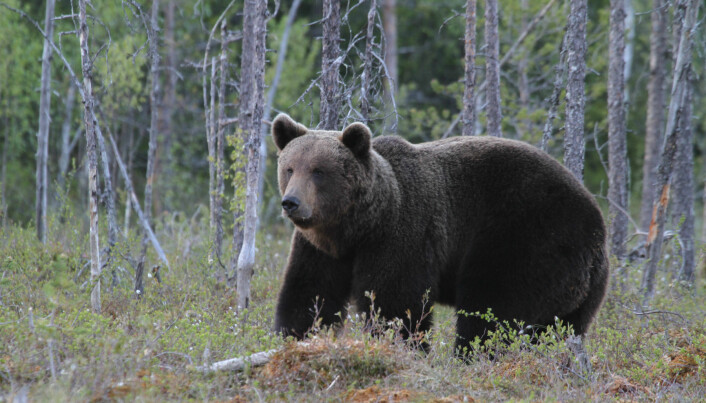 Europe's bears and wolves are back