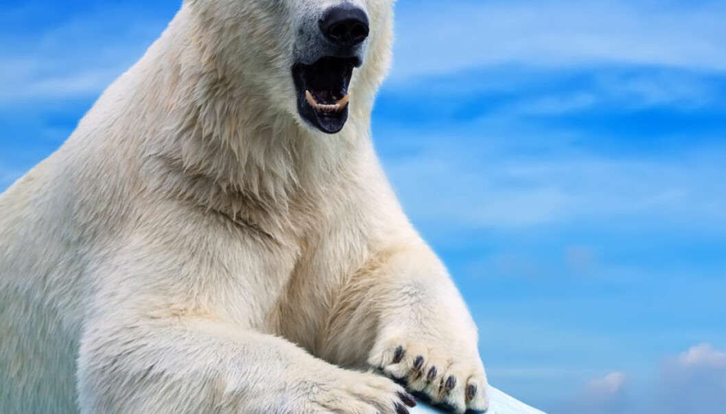 Chemicals can give polar bears osteoporosis in the penis bone. If the bone breaks, the penis will become so lopsided that the bear will not be able to mate normally. (Photo: Shutterstock)