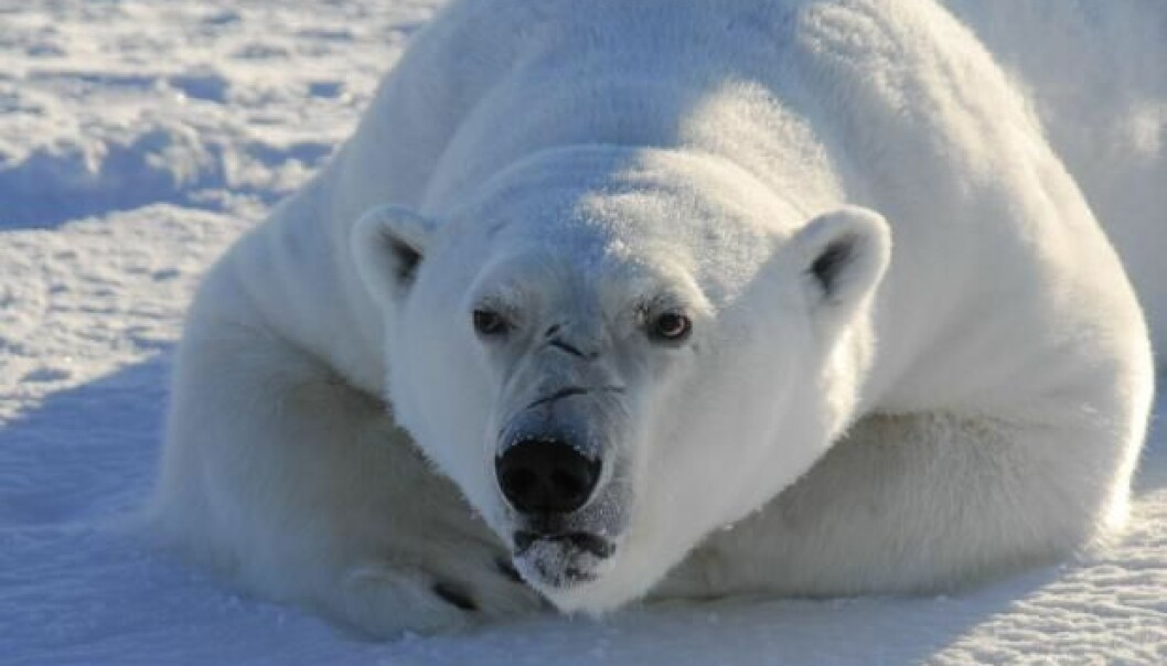Polar bears sustain brain damage from chemicals used for surface treatment of textiles and furniture. Humans living in the Arctic regions could also be at risk. (Photo: Rune Dietz)